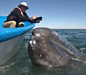 Gray whale watching near boat, Baja - Mexico