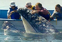Gray whale in Scammon's Lagoon, Baja - Mexico